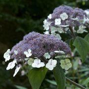 Hydrangea aspera 'Macrophylla' (Large Plant) - 1 x 3.5 litre potted plant