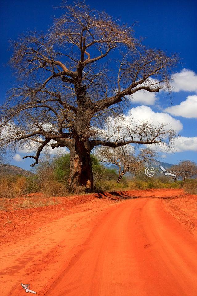Kenya. West Tsavo National Park. Baobob Tree. Africa.