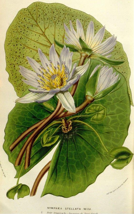 Lotus, Nymphaea Stellata, ca. 1845-1880.