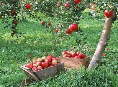Apple Garden Nature in Pakistan