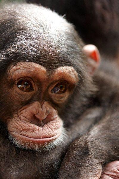 Tacugama Chimpanzee Sanctuary – Sierra Leone an up and coming royal.