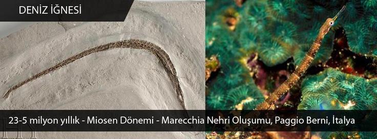 Deniz İğnesi Fosili - Miosen Dönemi - İtalya