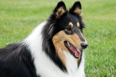Beautiful Tri-Colored Collie. The BEST dogs.
