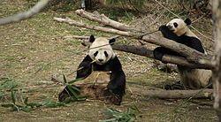 미국 국립동물원의 판다가 대나무를 먹고 있다.