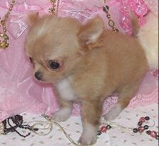 Chihuahua Puppies For Sale - Chihuahua Breeders