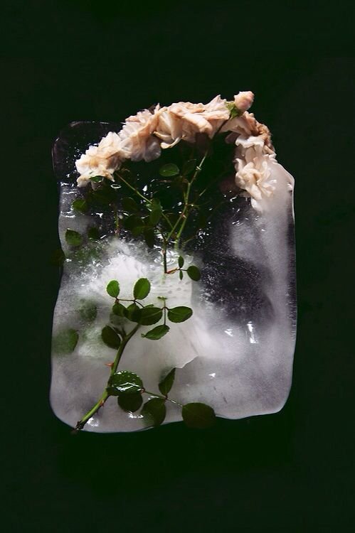 White Roses in a Block of ice