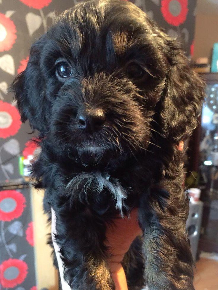 My beautiful cavapoo pup Ruby