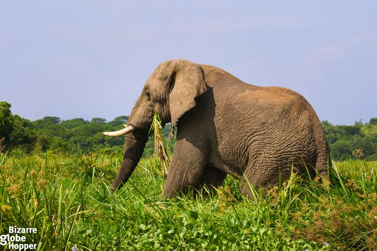 Murchison Falls National Park,big elephant on the banks of the Nile river, Uganda