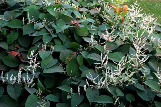 Renouée du Japon : véritable peste végétale - Cette belle plante figure au palmarès des 100 pires espèces envahissantes de la planète.