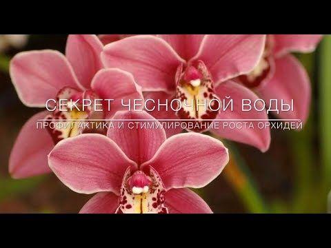 Секрет Чесночной Воды. Профилактика и Стимулирование Цветения Орхидей - YouTube