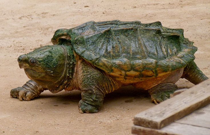 "Alligator Snapping Turtle (Macrochelys temminckii). Status listed as ""threatened"" in Kentucky."