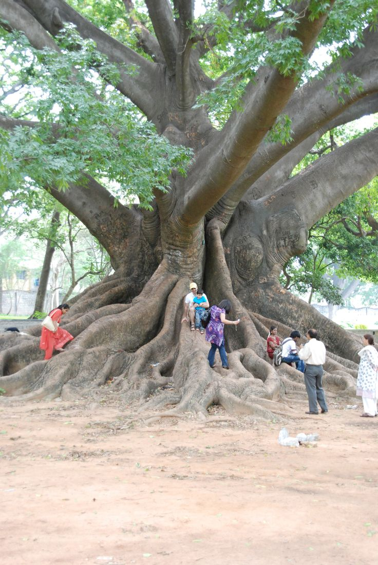 Biggest tree I'VE ever seen - Lal Bagh Gardens, Bangalore India.