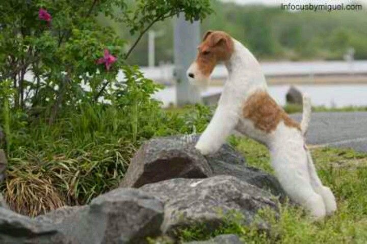 61 best images about Wire Hair Fox Terrier on Pinterest ...