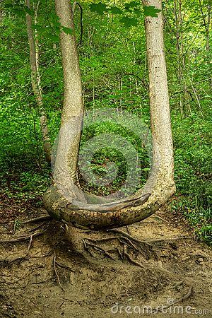 Crooked tree bent by nature. Pieniny, Poland.