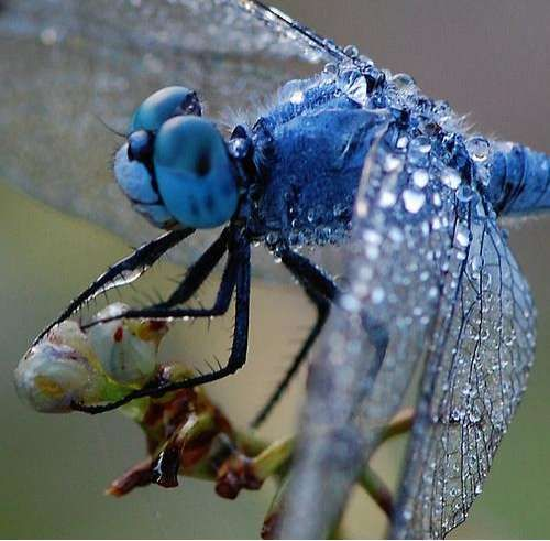 I ❤ COLOR AZUL INDIGO + COBALTO + AÑIL + NAVY ♡ Nature Closeups: Dewdrop Macro Photography