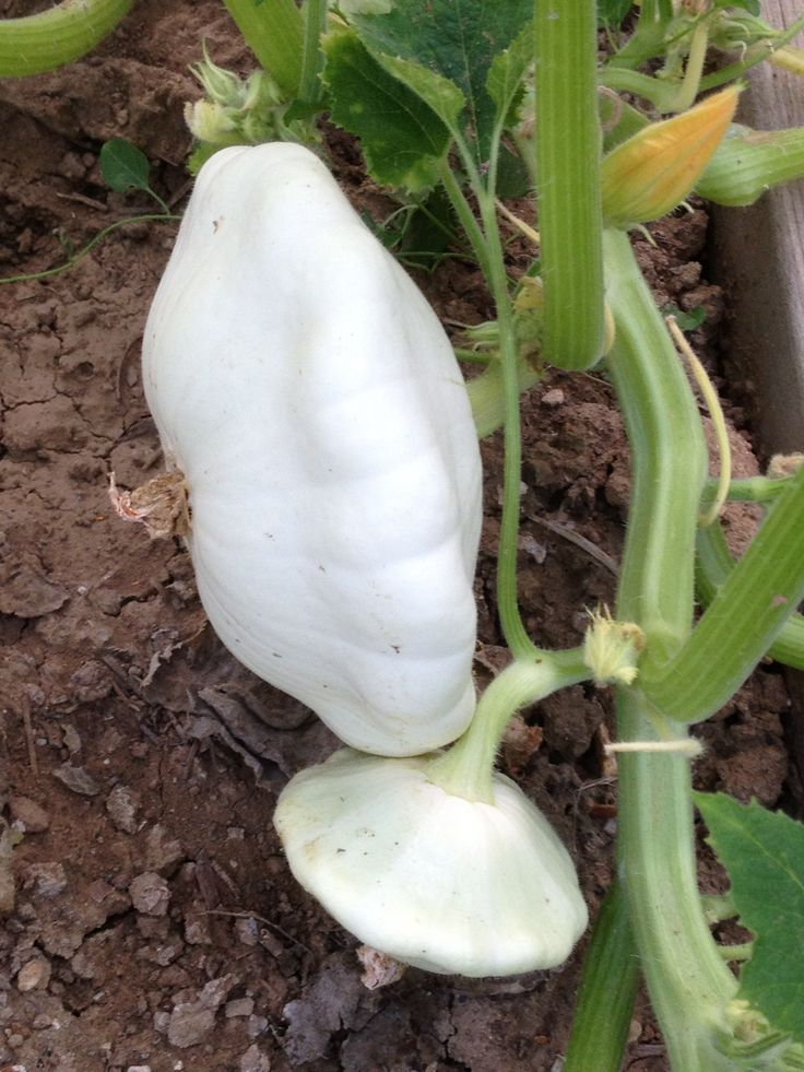 Courge  blanche