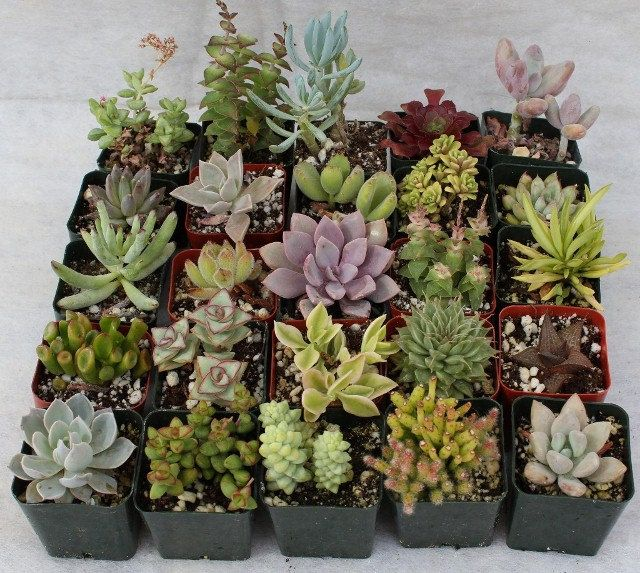 FIFTEEN (15) Assorted potted Succulent Collection 2 inch plastic pots succulents  $21.00, via Etsy.