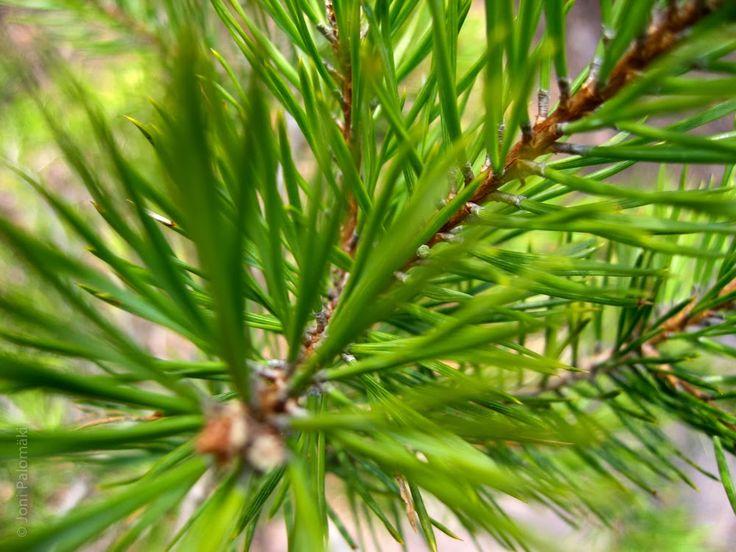 Evergreen conifers