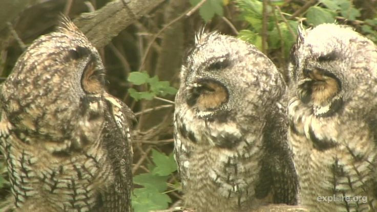 I'm watching the Long-eared Owl on @exploreorg streaming live from Missoula, Montana: