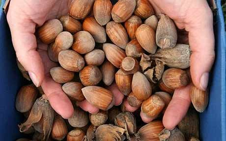 How to harvest and store cobnuts - There are hazelnuts aplenty this year