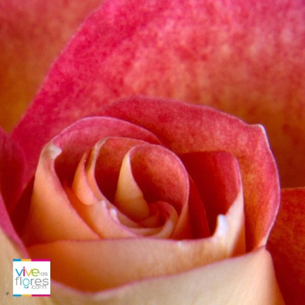 Fascinación, una emoción fuerte facilmente transmitida por nuestras rosas bicolor naranja. Encuéntralas en vivelasflores.com