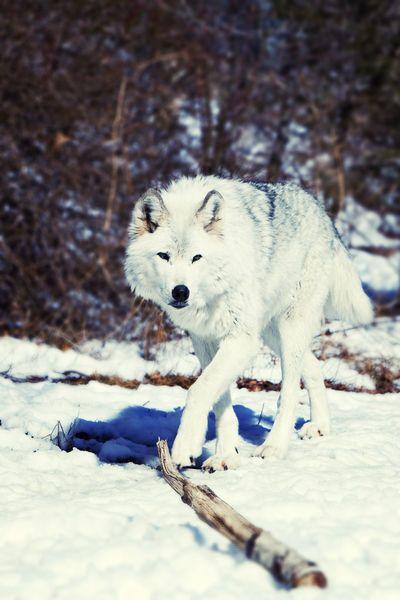 'Day watch', A gray wolf in Lakota Preserve, New Jersey by Vladimir Gramagin
