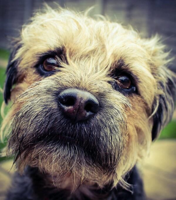 """Border Terriers always have a """" if you could just spare...a small pat and a kind word"""" look sooo sweet!"""
