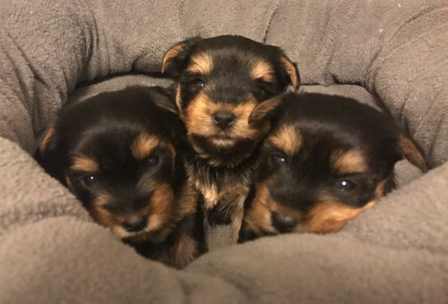 Yorkshire Terrier Puppy For Sale In North Wilkesboro Nc Adn