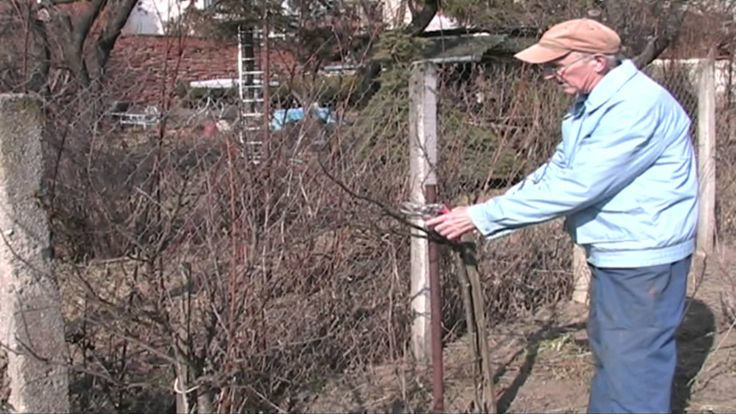 Jak na jarní řez malých ovocných dřevin. ČSZ Židlochovice