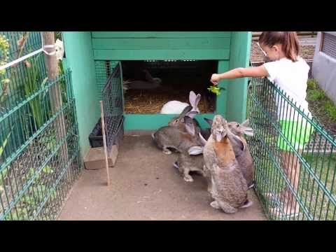 lapin geant des flandres - YouTube