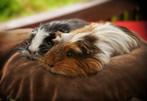 !!!!!!!!!!! I love guinea pigs. RIP Piglet and Oreo Piglet would b a great name for a guinea pig