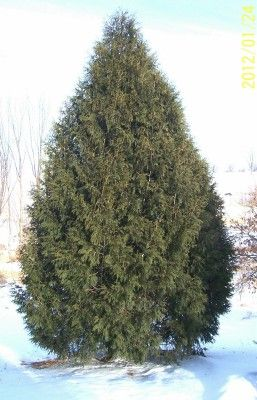 WindbreakTrees.com Techny Arborvitae  These instead of big pines.  Disease problem are few with no fungal disease problems and few insect problems such as bag worms or spider mites in a dry hot summer.  The Techny Arborvitae has shown to be a better plant for use in windbreaks than any other arborvitaes.  A 2 ft potted tree should be over 8 ft tall in 5 years in good soil, adequate moisture, and total weed and grass control.
