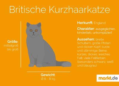 Britisch Kurzhaar | markt.de #katzen #rasseportrait #infografik #fakten #infos #charakter #eigenschaften #zucht #britisch #kurzhaar