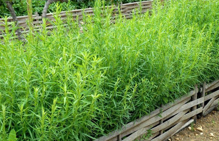 como-plantar-estragon