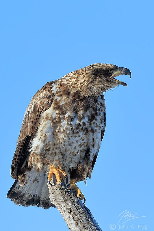 Juvenile Bald Eagle by John Haig on 500px
