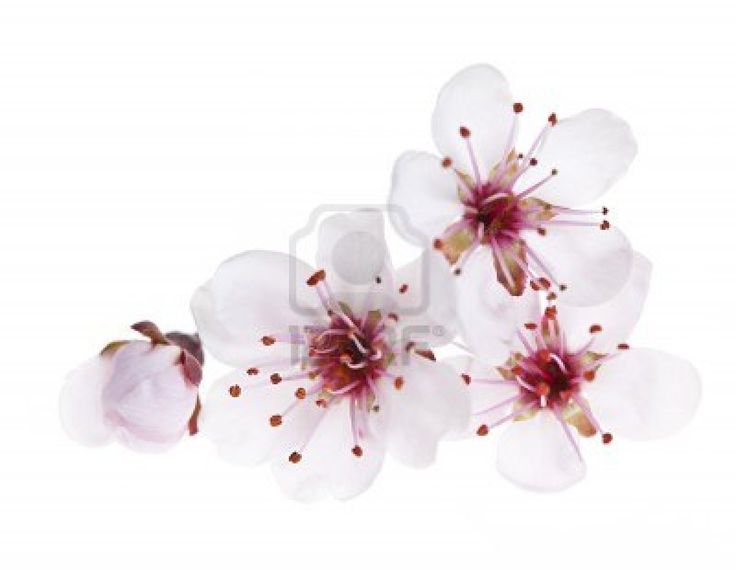 Cherry blossom flowers close up isolated on white background Stock Photo - 13558493