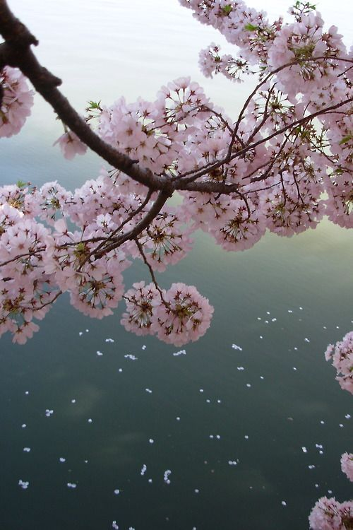 ".""This day on which The cherry blossoms fell, Has drawn to its close."" CHORA"