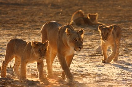 Lioness article