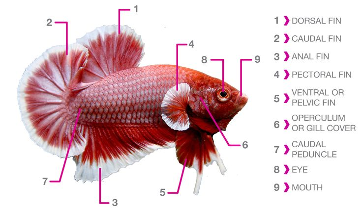 25 best fish anatomy ideas on pinterest fish sketch for Betta fish care water