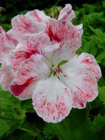 Geranium 'Mohawk' Pelargonium