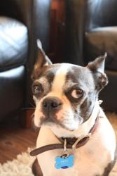 Rex is an adoptable Boston Terrier Dog in Huntington Beach, CA. Meet Rex, an almost 9 year old, 20 lb. Boston boy whose elderly owner can no longer care for him due to family circumstances. She was he...