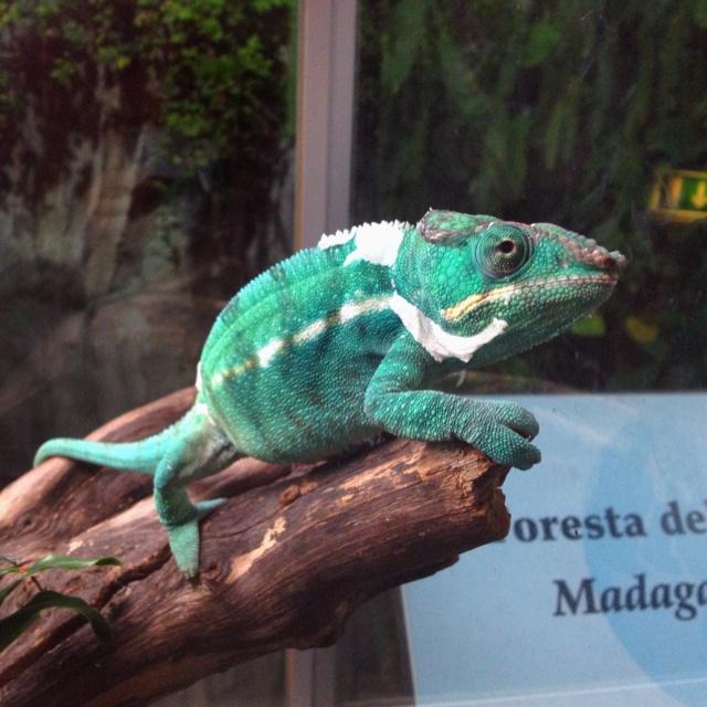 Chameleon in Aquarium of Genoa