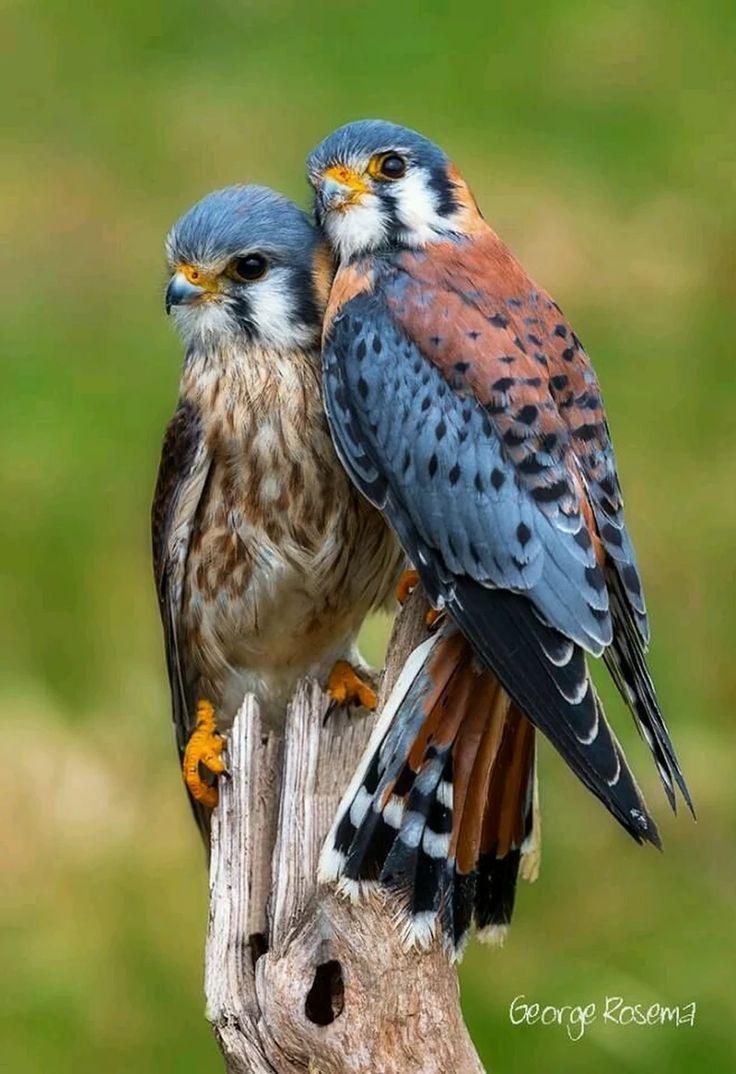 Selbst bin von Turmfalken besessen schau dir nur sie Tisch an #Vogel