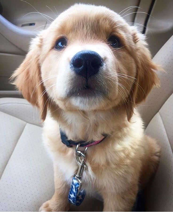 how much does a golden retriever puppy cost in chennai