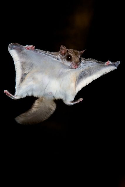 Southern Flying Squirrel. FYI - We have these in Okla. and it really hurts when they bite you. Just sayin'