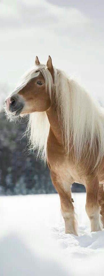 Equine - Haflinger horse