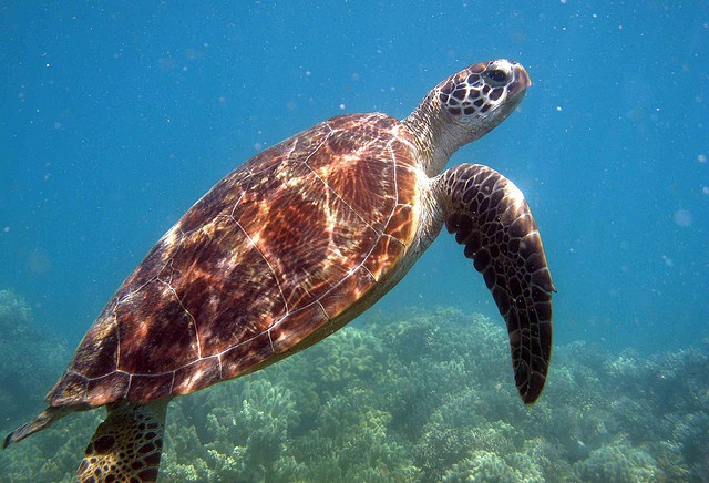 Great Barrier Reef; Queensland, Australia. Can you guess the type of Sea Turtle?