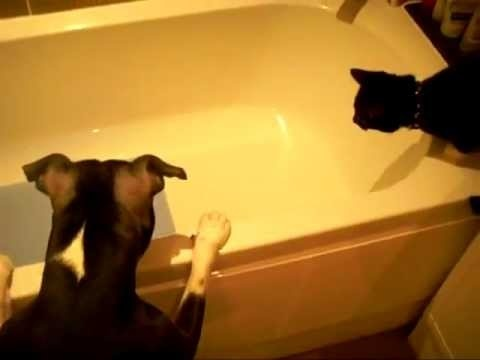 Dog Pushes Cat Into Bathtub Watch The Video