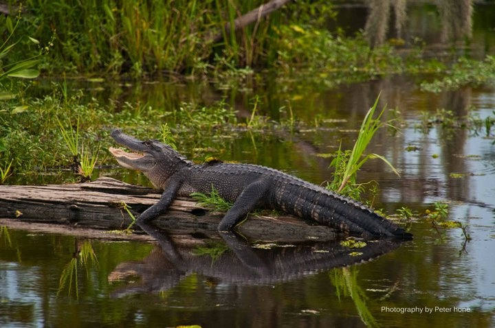 Photos Of Airboat Tours In New Orleans Swamp tours