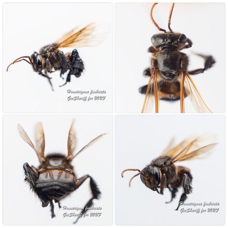 Homotrigona fimbriata - Meliponine / Stingless Bee / Kelulut   by Geeshariff
